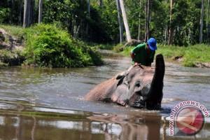 Petani Aceh Utara resah gangguan gajah liar