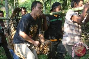 Harimau Meresahkan Warga
