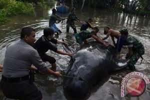 10 paus yang terdampar di Probolinggo mati