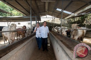 Pemerintah upayakan harga daging sapi turun