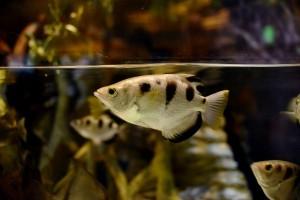 Ikan ternyata bisa kenali wajah manusia