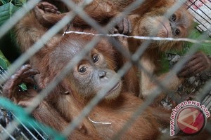 Anak orangutan ditemukan menangis di Sampit