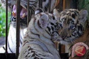 Nasib harimau yang terkam pengunjung di Museum Satwa Jatim Park