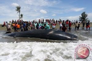 Seekor paus terdampar di Aceh