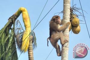 Pedagang kelapa muda diserbu pembeli