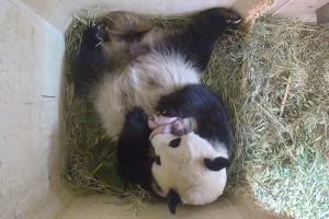 Bayi panda di kebun binatang Belgia diberi nama Tian Bo
