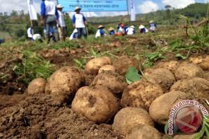 Suplai kentang lokal untuk industri menguat