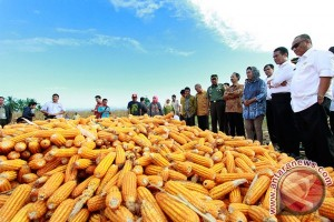 Mentan berjanji menyerap produksi jagung rakyat