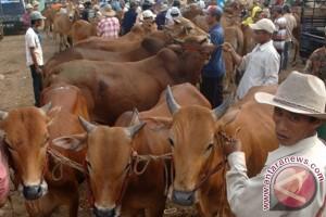 Seekor sapi kurban di Bojonegoro masuk sungai