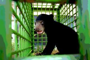 Warga serahkan bayi beruang kepada BKSDA Sampit