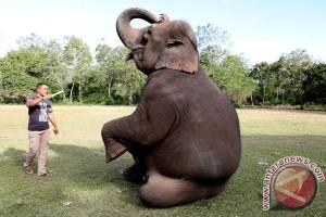 Melatih Gajah Sumatra