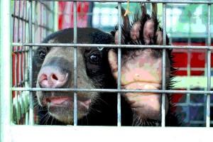 Antara doeloe: Beruang diangkut dengan Garuda ke Djakarta