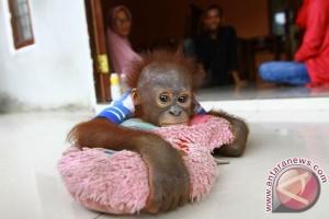 Bayi Orangutan Peliharaan Warga