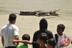 Warga tangkap buaya di sungai