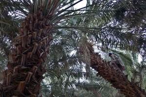Antara doeloe: pohon kurma berbuah di Tawaeli Palu