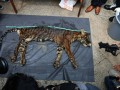 Gelar Kasus Perdagangan Kulit Harimau