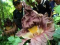 Tanaman Amorphophallus Di Bekasi