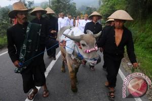 Tradisi Kirab Kerbau Sura Merapi Merbabu