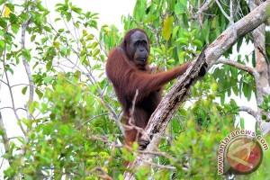 Subspesies Orangutan Di Kalbar