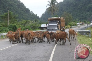 Kupang kirim 18.850 sapi ke DKI Jakarta