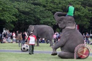 Atraksi Sepakbola Gajah