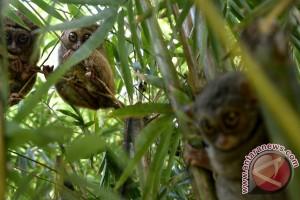 Jumpa tarsius si primata setia di Tandurusa