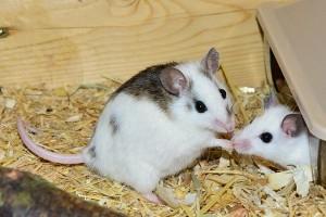 Tikus menyanyi seperti mesin jet untuk cari pasangan