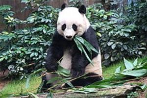 Panda tertua di penangkaran jalani eutanasia di Hong Kong