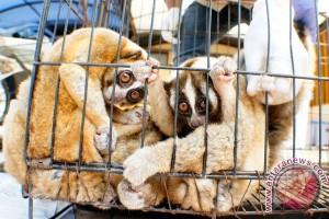 Empat ekor kukang siap dilepasliarkan kembali ke alam bebas