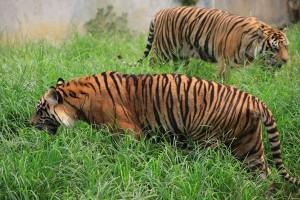 Khatib Lebong dibekali ilmu penyelamatan harimau sumatera