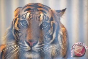 ANTARA Doeloe : Gara-gara harimau suka makan majat