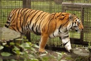 Harimau Sumatera TMSBK kembali lahirkan tiga anak
