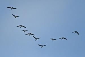 Burung migrasi bisa terbang 10 bulan tanpa henti