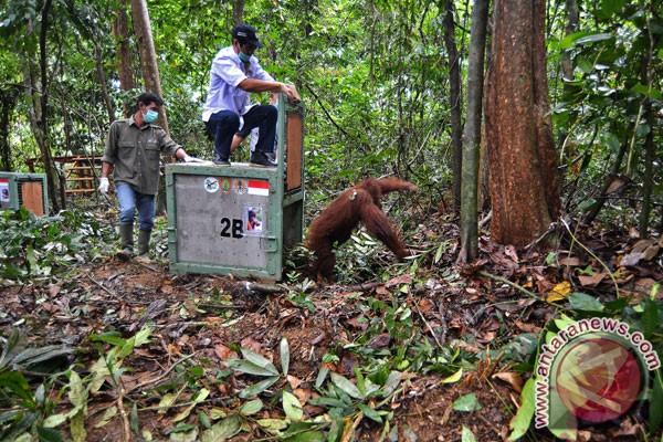 Tujuh orangutan dilepasliarkan ke Kehje Sewen