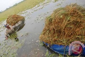 Petani Karawang menyelam untuk panen padi
