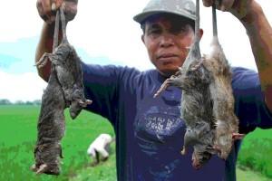58 kasus leptospirosis terjadi di Kulon Progo