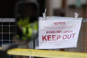 Khawatir flu burung, Afrika Selatan larang impor unggas dari Zimbabwe