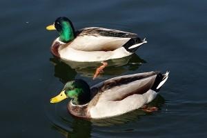 Belanda musnahkan 190.000 bebek untuk atasi wabah flu burung
