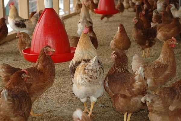 20161220ayam ternak » Hubungan Kenya Dengan Tanzania Makin Keruh Karena Ayam Dan Sapi
