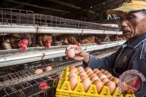 Produksi Telur Ayam