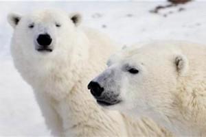 Peneliti: jumlah beruang kutub turun sepertiga karena pencairan es