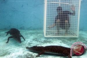 Berenang Bersama Buaya