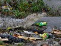 Seekor buaya berjemur di antara tumpukan sampah di Sungai Palu, Palu, Sulawesi Tengah, Selasa (10/1/2017). Berdasarkan laporan yang dikeluarkan Direktorat Jenderal Pengendalian Pencemaran dan Kerusakan Lingkungan Kementerian Lingkungan Hidup dan Kehutanan (KLHK), pada tahun 2015 hampir 68 persen atau mayoritas mutu air sungai di 33 provinsi di Indonesia dalam status tercemar berat. Sumber utama pencemar air sungai di Indonesia sebagian besar berasal dari limbah domestik atau rumah tangga. (ANTARA FOTO/Mohamad Hamzah)