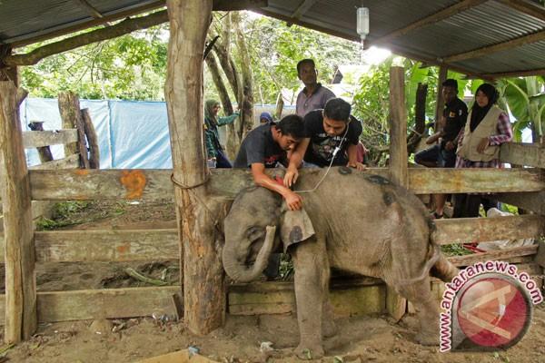 Depresi, anak gajah di Aceh ini mati