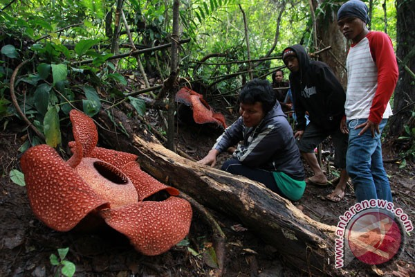 Two Rafflesia arnoldii flowers bloom in Kaur forest, Bengkulu