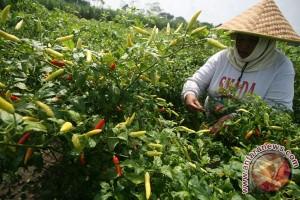 Kementan kembangkan  cabai 40 hektare di Tabanan