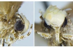 Spesies baru ngengat kecil dinamai Donald Trump