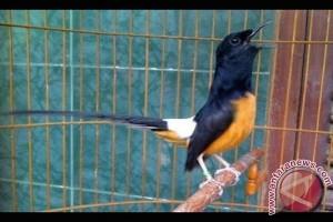 Desa Wukirsari didorong jadi sentra burung murai batu