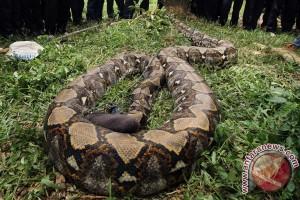 Polisi amankan ular sanca selundupan