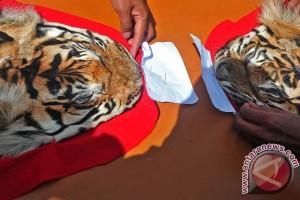 Dua penjual kulit harimau ditangkap di Bengkulu